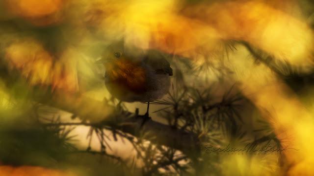 Kızılgerdan, Robin, Erithacus rubecula