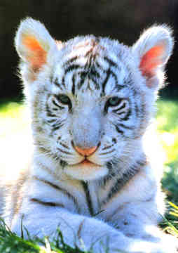 Funny Animals Pictures White Tigers Cute Baby Images