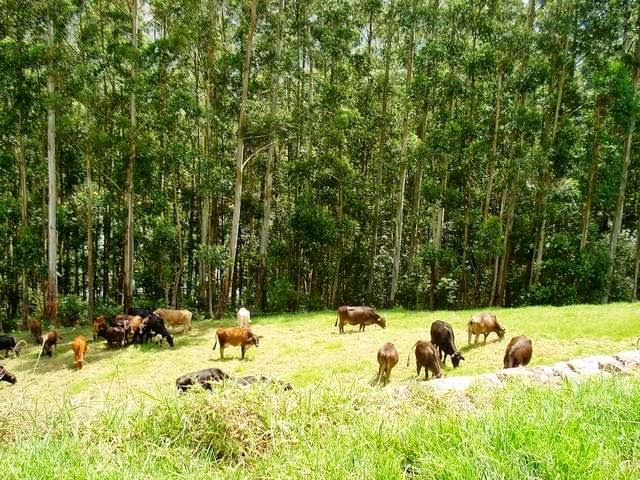 Mattupetty Dairy Farm in Munnar