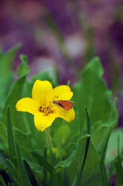 Texas yellow star, Lindheimera texana
