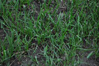 New Grass Seed Germination
