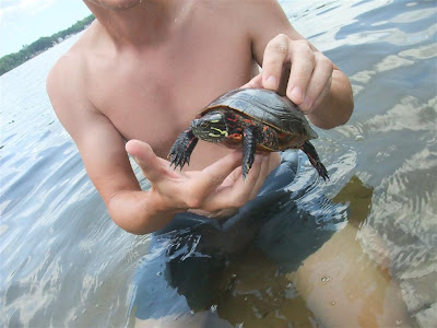 how to catch a turtle, painted turtle, swimming in the lake