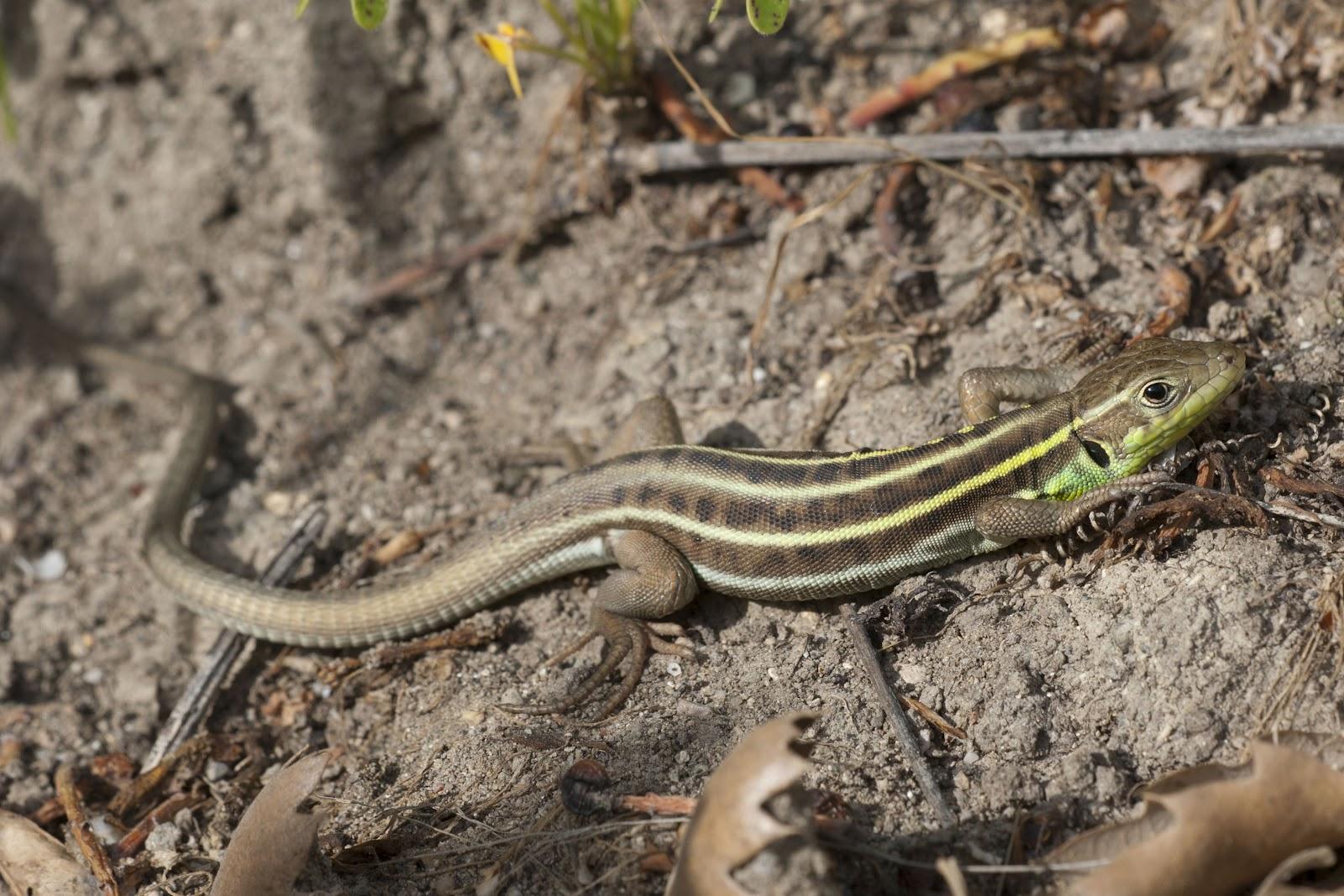U S Lizard Yorkshire Field...