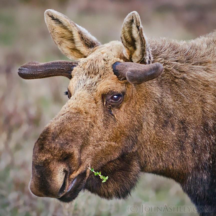 Bull moose spring antlers (c) John Ashley