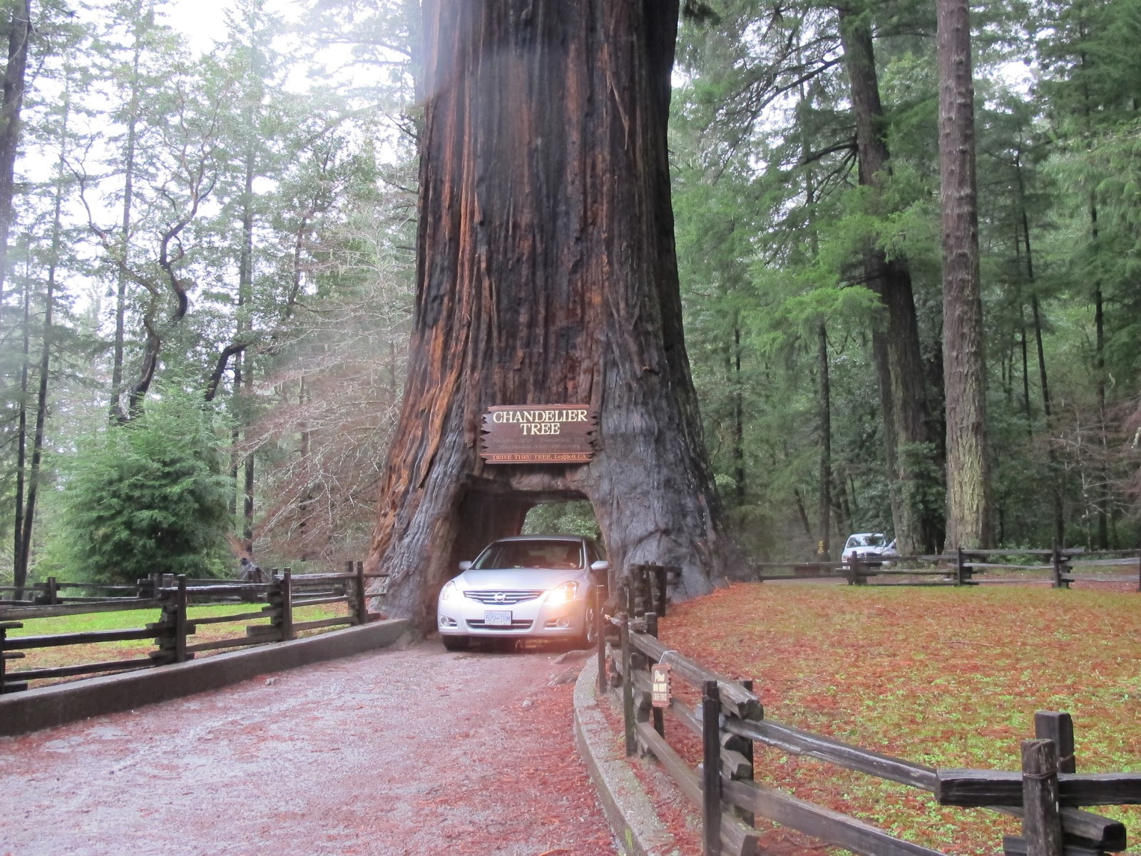 Jlopezmb driving thru giant redwood trees me driving thru the chandelier tree mozeypictures Image collections