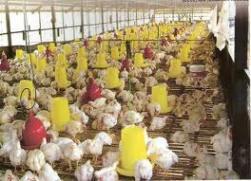 Estimasi Bisnis Beternak Ayam Potong
