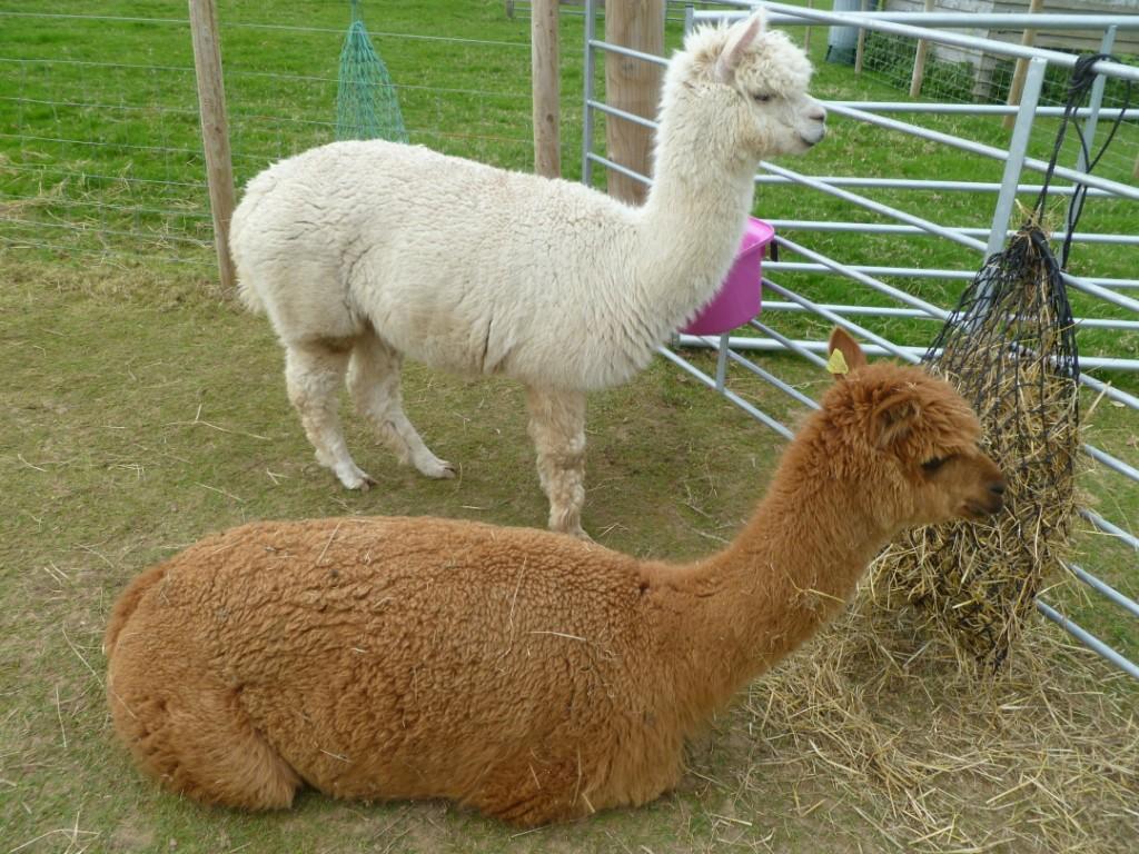 ashdale alpacas fat bottomed girls