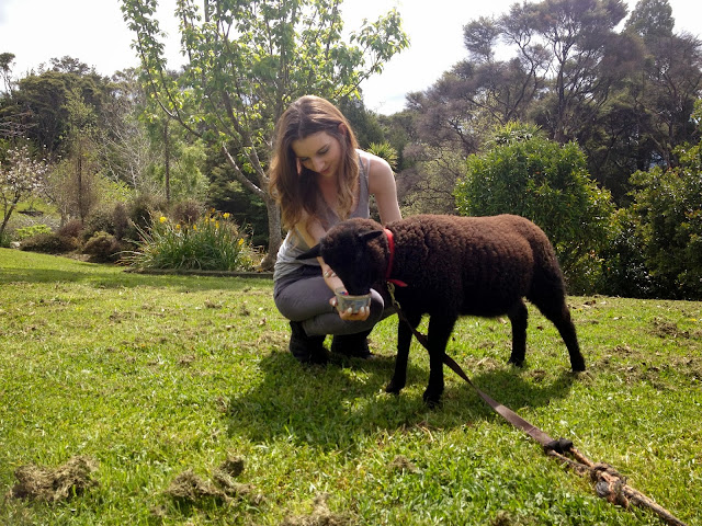 leigh_new_zealand_sheep