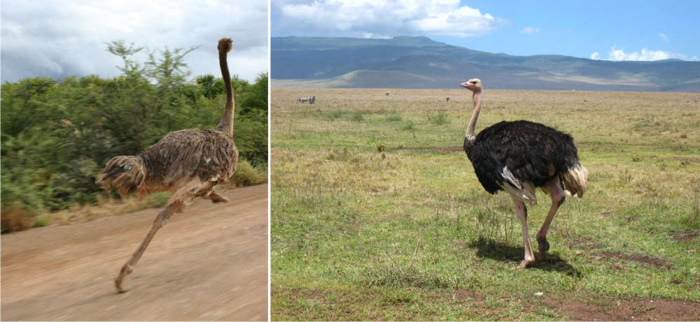 Camel bird (Ostrich)