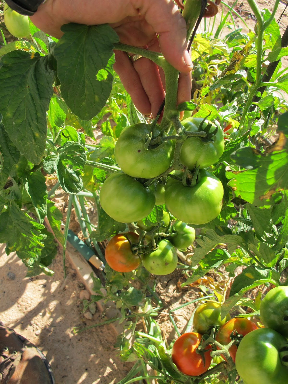 simple healthy tasty how to grow bunches of tomatoes that ripen quickly. Black Bedroom Furniture Sets. Home Design Ideas