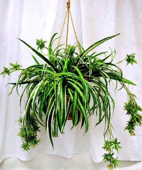 Tyler greener living spider plants chlorophytum hard for Spider plant cats