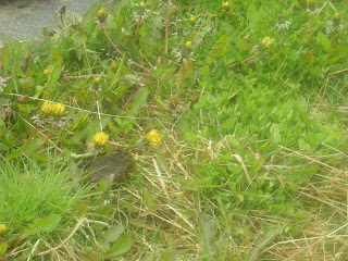 dandelions, Ushuaia, Argentina