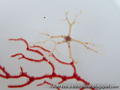 Basket star (Euryalina)