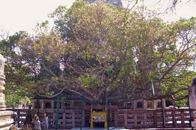 Pohon Paling Istimewa di Dunia
