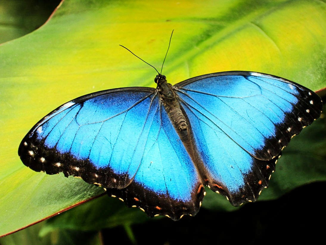 beautiful Blue Morpho Butterfly