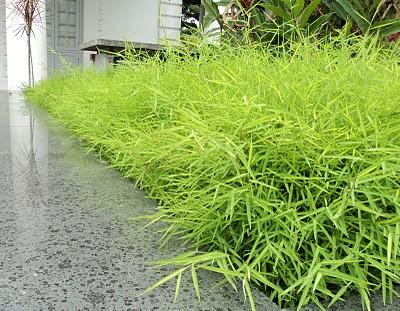 Bamboo Grass1
