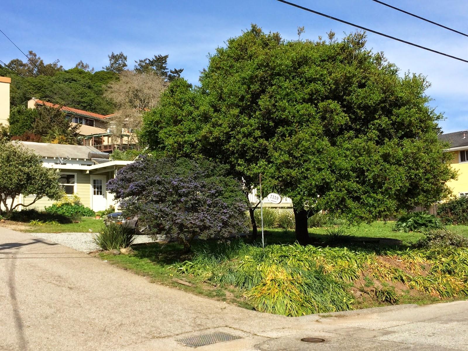 Trees of santa cruz county quercus wislizeni interior for Trees for tight spaces
