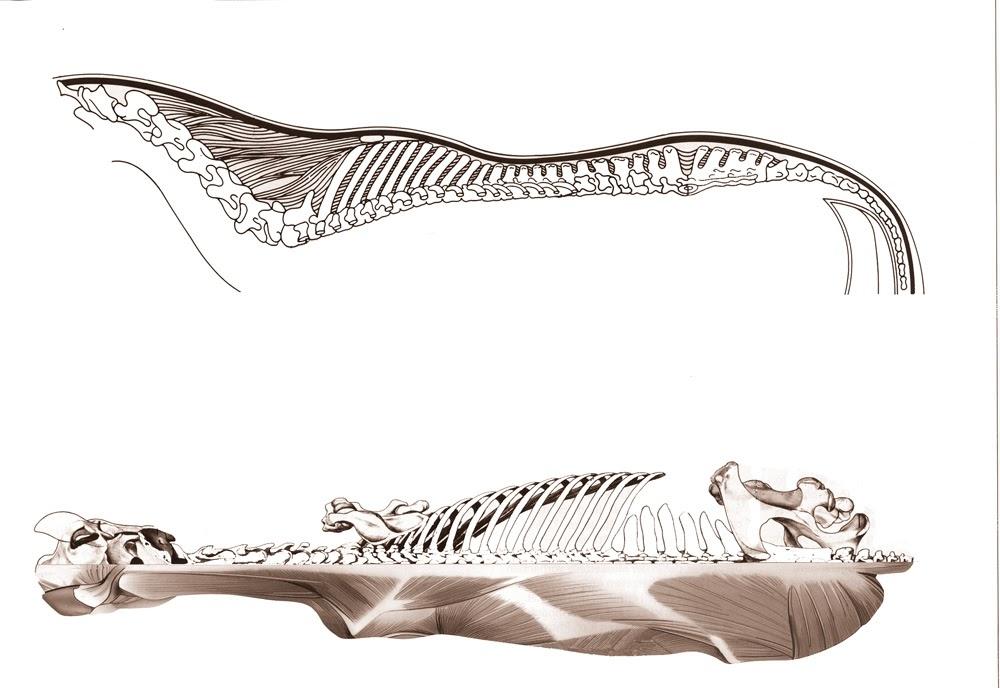 Estructura ósea de un caballo.