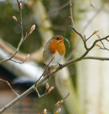 Robin holding grass in her/his beak