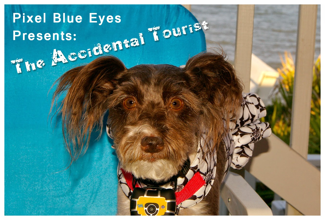 "Pixel Blue Eyes presents ""The Accidental Tourist"" Doggie Edition. Photo shows Pixel wearing a Hawaiian dress and her collar camera in a lounging chair at the beach."