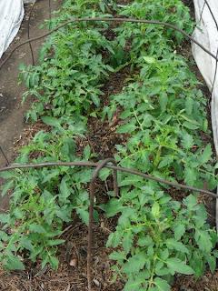 12.06. детерминантные помидоры