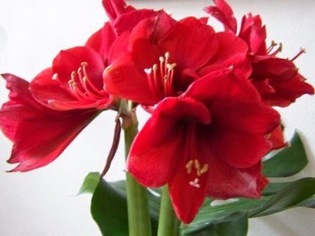 giftige Pflanzen-Amarylis