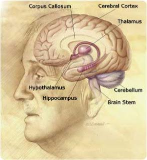 Brain Hippocampus3
