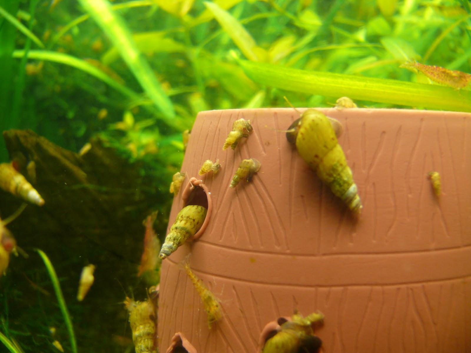 caracoles de agua dulce: