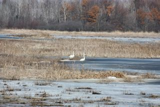 photo of a pair of swans in a winter marsh