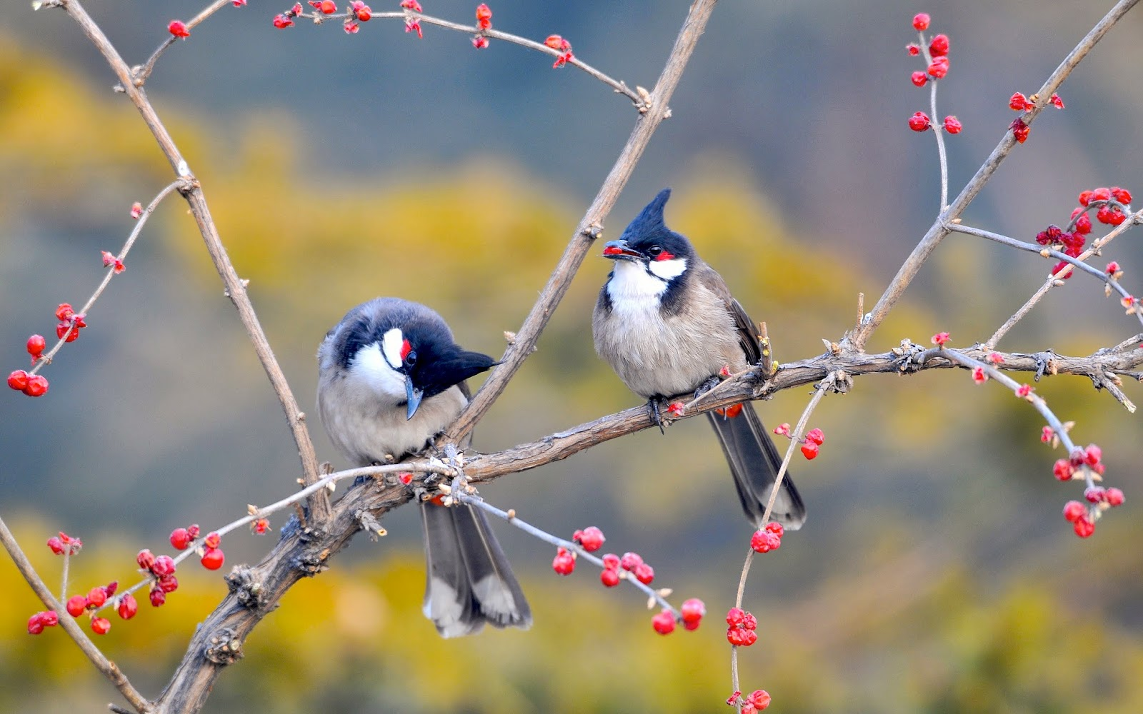 Aves de Bulbul de arbusto rojo