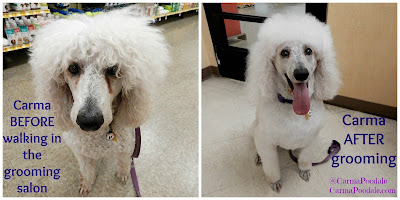 Carma Poodale before and after grooming.