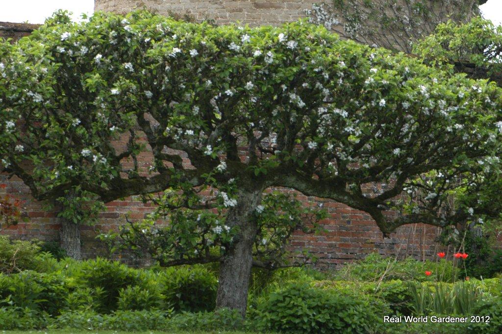 Real World Gardener: Espaliered Gardens and Did You Thryptomene? on
