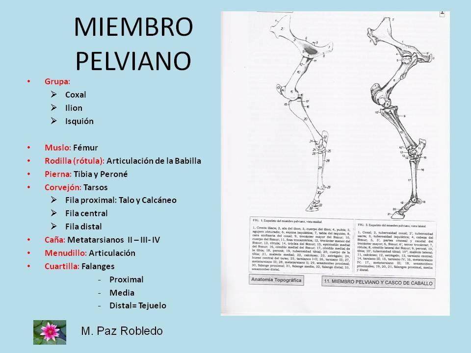 M.Paz Robledo- Monitora de Equitación Terapéutica- Córdoba: Anatomía
