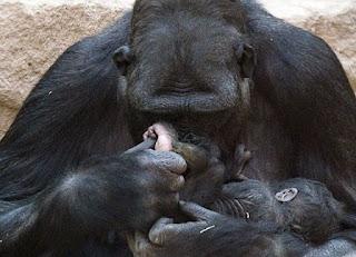 Macaco cuidando do seu filho