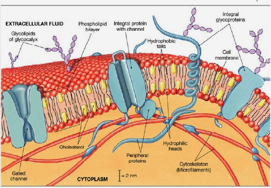 Carbohydrates In Cell Membrane