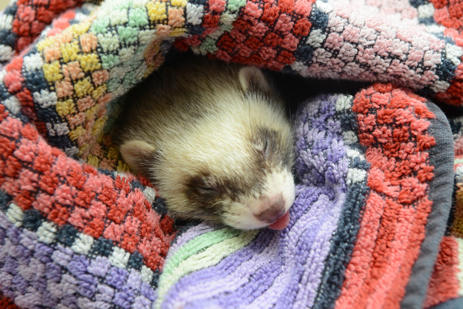 ferret sleeps off anaesthetic anaesthesia