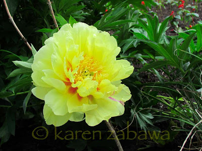Large yellow tree peony in full bloom has faint red veins showing through. This peony can be seen at BRG in Port Credit, On.