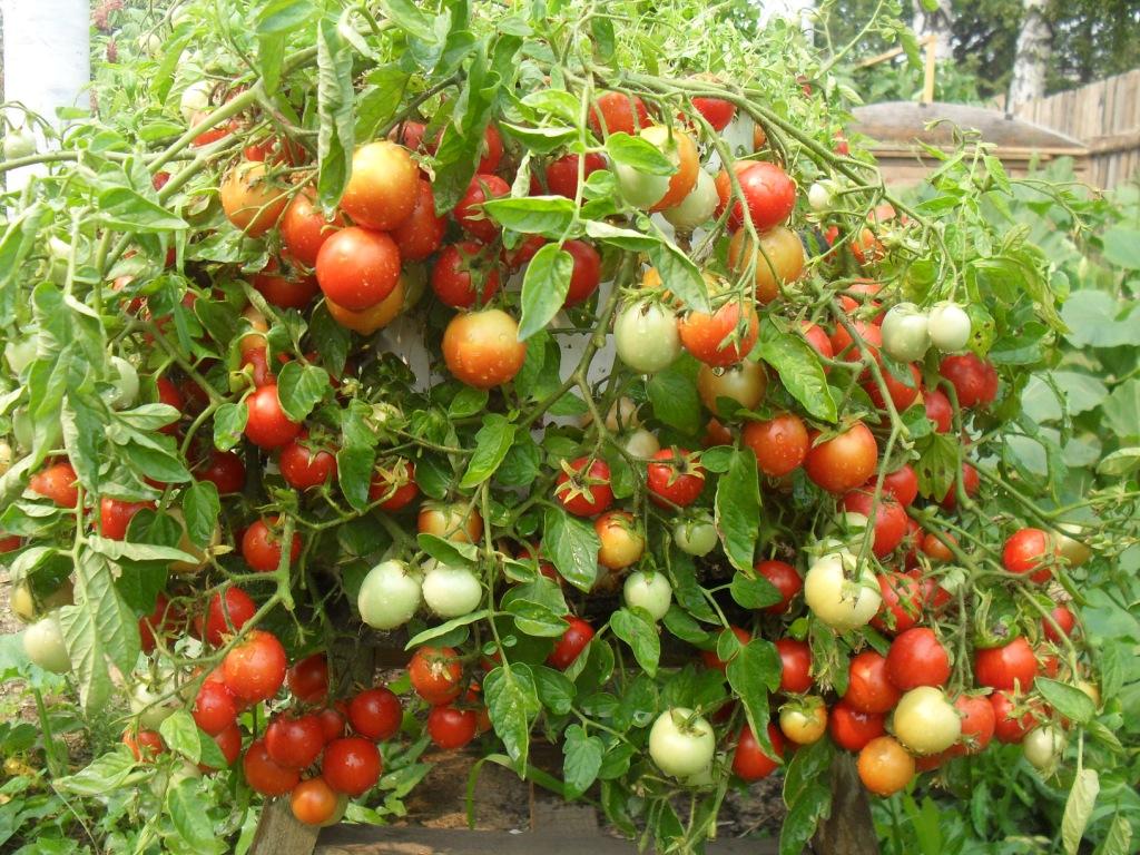 Resultado de imagen para tomatera