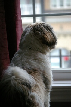 10 Interesting Facts about Shih Tzu