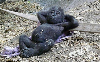 chill out baby gorilla, funny animal pictures, animal pics