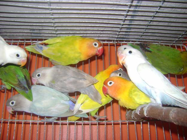 african lovebirds breeding