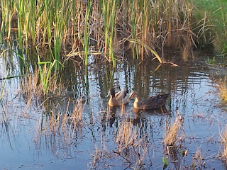 Male and female duck swimming together