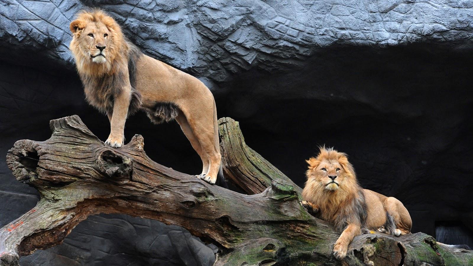 http://3.bp.blogspot.com/-q0zYqwuYhtE/UO1DFcHNhrI/AAAAAAAAOsM/vPkt-CqNHhc/s1600/majestic-pair-of-lions.jpg