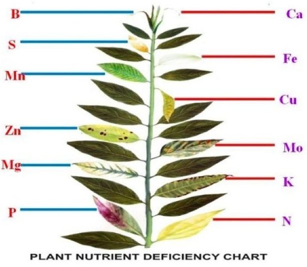 plant mineral deficiencies Some soils are inherently deficient in some minerals such as iodine and  selenium due to soil geology plants grown on soils deficient in a mineral are  likely to be.