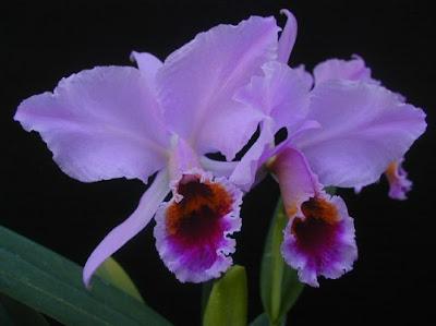 orquideas significado