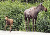 Moose Mama, Denali National Park, Alaska, #Denali, #MooseandCalf, #Alaska