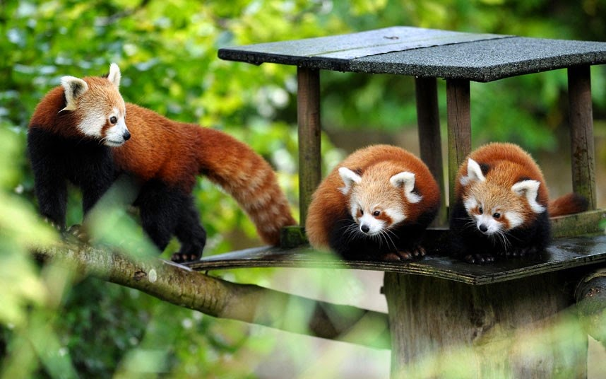40 Adorable red panda pictures (40 pics), three red pandas in a small house