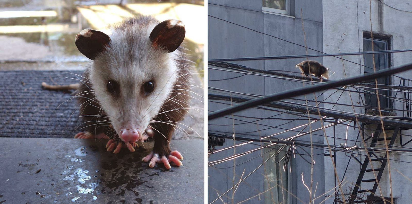 pardon me for asking more proof that opossums have settled quite