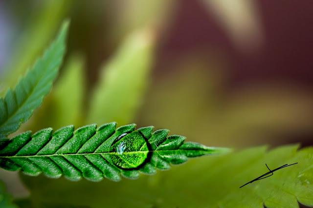 Gota de agua en rama de cannabis