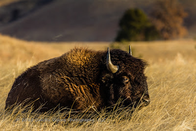 Wind Cave National Park Bison by Dakota Visions Photography LLC Black Hills SD Buffalo www.dakotavisions.com